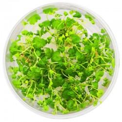 Eco Plant - Hydrocotyle Japan - Invitro mały kubek