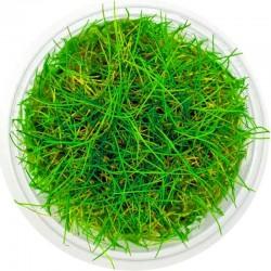 Eco Plant - Eleocharis Acicularis - InVitro mały kubek