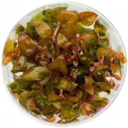 Eco Plant - Alternanthera Reineckii Lilacina - InVitro mały kubek