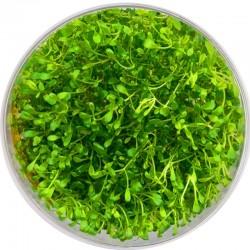 Eco Plant - Glossostigma Elatinoides - Roślina InVitro mały kubek