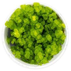 Roślina Invitro kubek mini - micranthemum umbrosum