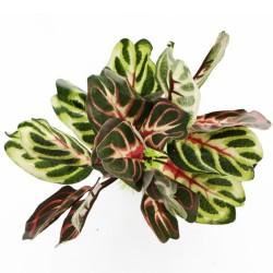 Bello Plant - Chile's Bicolor - roślina M do obrazów 3D